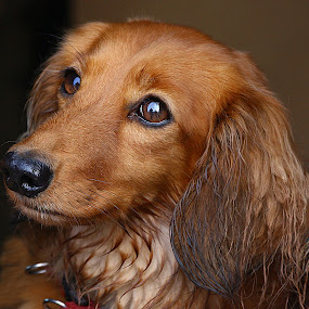 Stella by Chrissie Barrow - Animals - Dogs Portraits ( red, damp, female, dachshund (miniature long haired), pet, fur, ears, dog, nose, tan, portrait, eyes,  )