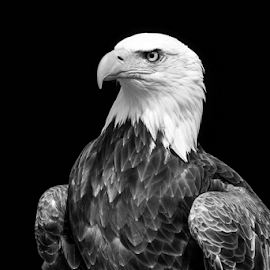 Sam by Garry Chisholm - Black & White Animals ( raptor, bird of prey, nature, bird photography, bald eagle, garry chisholm )