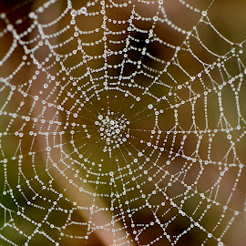Raindrops on Web by Tim Laborde - Nature Up Close Webs ( macro, spider, raindrops, web, spider web )