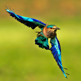 INDIAN ROLLER by Subramanniyan Mani - Animals Birds ( bird, flight, nature, action, wildlife, indian roller )