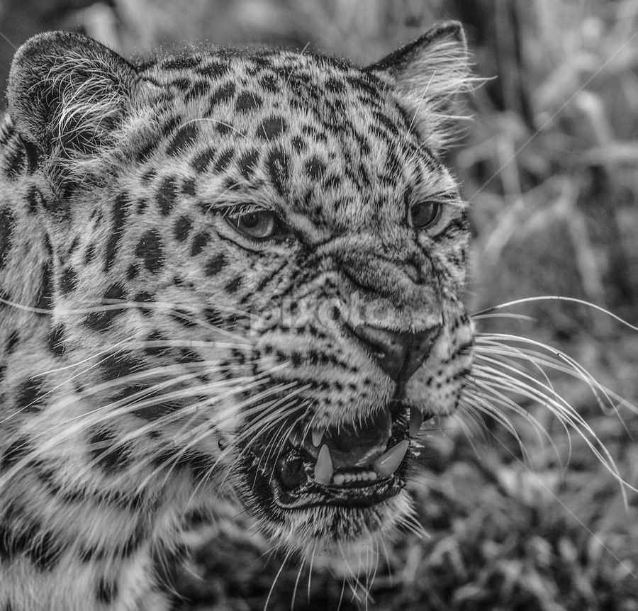 Leopard by Garry Chisholm - Black & White Animals ( big cat, garry chisholm, nature, black and white, wildlife, leopard )