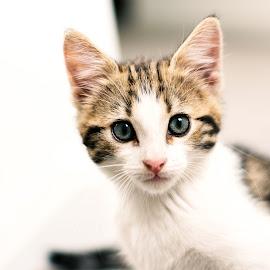 Julius by Branko Askovic - Animals - Cats Kittens ( kitten, cat, animal )