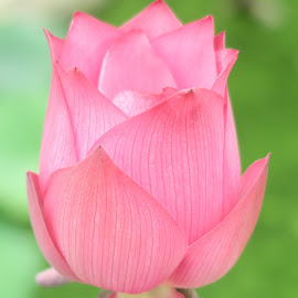 Unbloomed Lotus Flower by Dennis  Ng - Flowers Flower Buds (  )