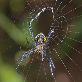 spider man by Prakash Tantry - Animals Insects & Spiders