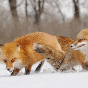 Red Foxes by Rolland Gelly - Animals Other Mammals
