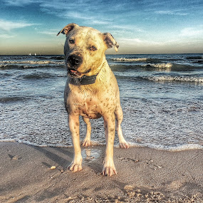 RCA by Louis Perlia - Animals - Dogs Portraits ( water, clouds, hdr, pet, pit bull, beach, dog, sun )