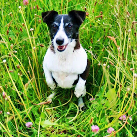Meadows by Liadh Crowley  - Animals - Dogs Portraits ( love, jack russell, companion, meadow )
