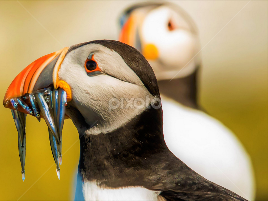 The Catch by Sam's 1 Shot - Animals Birds ( northern, england, summer, farne, fishing, birds, puffin, island,  )