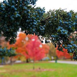 Leavenworth Park 57 by Ron Knight - City,  Street & Park  City Parks ( autumn, blur, leaves, berries )