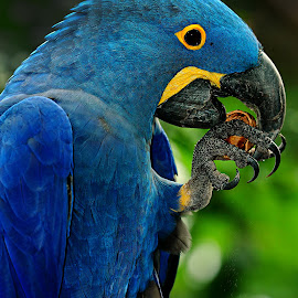 Blue ara and his nut by Gérard CHATENET - Animals Birds