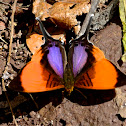 Pansy Daggerwing Butterfly