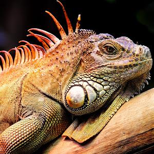 Male iguana.jpg