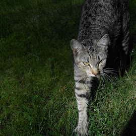The Hunter by Liz Pascal - Animals - Cats Playing