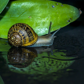 Where to now by Petrus En Janine Theron - Animals Other ( water, reflection, leaf, snail )