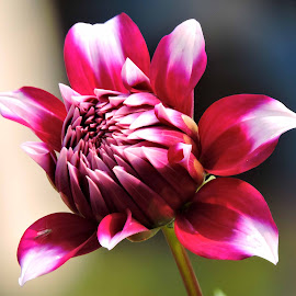dahlia by SANGEETA MENA  - Flowers Flowers in the Wild