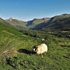 by Phil Bear - Landscapes Mountains & Hills ( mountains, uk, ben nevis, sheep, scotland )