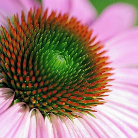 by Karen McKenzie McAdoo - Nature Up Close Flowers - 2011-2013 ( cone flower )