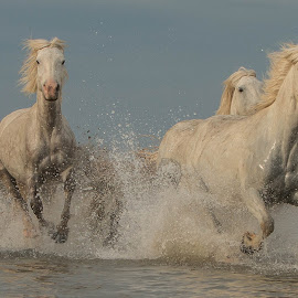 Trio of wild white horses by Helen Matten - Animals Horses ( galloping, gallop, water, wild, horses, marshes, camargue, guardians, white, french, mares, of, south, france )
