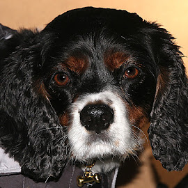 Ready for Home! by Chrissie Barrow - Animals - Dogs Portraits ( curly, van, pet, white, fur, ears, cavalier king charles spaniel, dog, nose, tan, black, portrait, eyes )