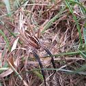 Rabid Wolf Spider male
