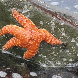Star Fish by Rita Goebert - Animals Sea Creatures ( star fish; crescent city; california; low tide; endangered species )
