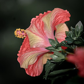 Touch of yellow orange by Gunbir Singh - Flowers Single Flower ( orange, hibiscus, backside, yellow, gunbir, nikon, flower )