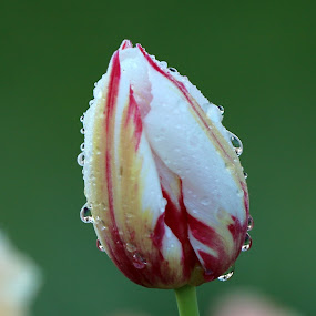 Morning Dew on Tulip by Igor Martinšek - Flowers Flowers in the Wild (  )