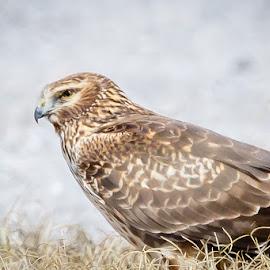 Red Tail Hawk Taking a Break by Jim Hendrickson - Novices Only Wildlife ( bird, birds of prey, bird of prey, red, oklahoma, hawks, birds, tail, hawk )