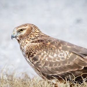 red tail hawk-1.jpg