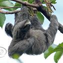 Preguiça-comum (Brown-throated Three-toed Sloth)