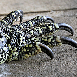 Water Monitor's claw by Pieter J de Villiers - Animals Reptiles ( reptiles, animals, kruger national park, south africa, water monitor, ngwenya lodge, water monitor's claw )