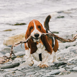 Smiling Basset Hound by Annette Nordlinder - Animals - Dogs Portraits ( carrying, rocky, mouth, white, branch, brown, basset hound, beach, smiling )