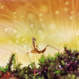 -- by Achmad Syamsu Hidayat - Animals Insects & Spiders ( macro, mantis, insects, insect, close up )