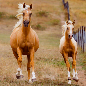Golden Arabians by Glenys Lilley - Animals Horses ( gallop, palomino, free, horse, arabian, foal,  )