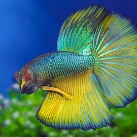 Betta Fish by Andi Kurniadi - Animals Fish ( underwater, fish, aquarium, nature up close, animal )