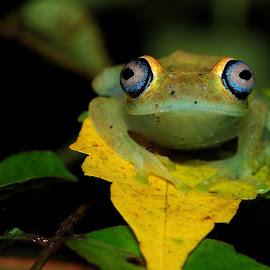 Boophis viridis.From Madagscar (Andasibe) by Serge Pasquasy - Animals Amphibians