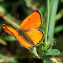 Large copper_male