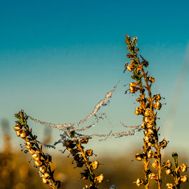 Frosting on spiderweb between plants by Natasja Martijn - Nature Up Close Webs ( plant, winter, frosting, spiderweb, frost )