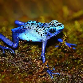 Saute by Gérard CHATENET - Animals Amphibians