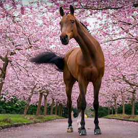 Q in Cherryblossom by Erik Kunddahl - Animals Horses ( cherry, equine, horse, nikon, spring )