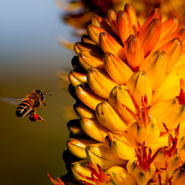by Sheena True - Nature Up Close Hives & Nests ( flight, colourful, bee )