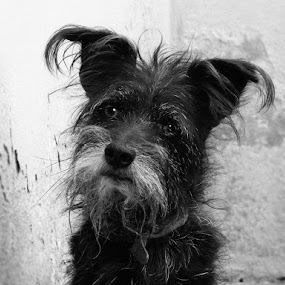 Tobby by Leonardo Cardoso - Animals - Dogs Portraits ( brazil, puppy, dog, tobby )