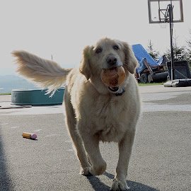 Play by Maria Bartolucci - Animals - Dogs Running ( play, cute, happy dog, running, golden retriever )