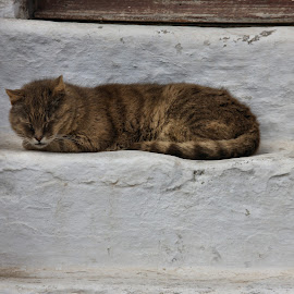 Let sleeping cats lay by Cal Brown - Animals - Cats Portraits ( cat, greece, sleeping, santorini, portrait, animal )