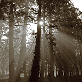 Misty Mountain Morning by Dennis Ducilla - Landscapes Forests ( pines, b&w, sunrays, trees, sunlight, ducilla, tall, mist, black and white, b and w, landscape, monotone, mono-tone )