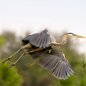 Nest building Heron 3 by Buddy Eleazer - Animals Birds ( great blue heron )