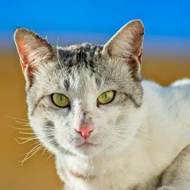 The Hunter of Dubai by Abbas Mohammed - Animals - Cats Portraits ( wild cat, cats, hunter, dogs, dubai, portraits, animal,  )