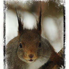 by Bente Agerup - Animals Other ( winter, nature, animales, squirrel, eyes )
