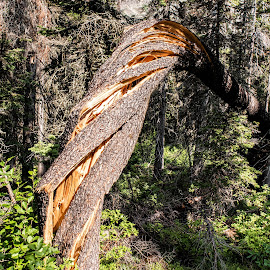 Twisted Trunk by Richard Michael Lingo - Nature Up Close Trees & Bushes ( close-up, nature, tree, montana, trunk,  )
