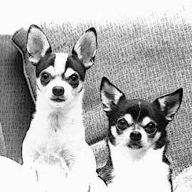 A pair of chihuahua's in black and white by Debbie Quick - Black & White Animals ( debbie quick, mans best friend, canine, pet photography, debs creative images, new york, k9, national geographic, pleasant valley, animal photography, animal, black and white, dog, hudson valley, pet )